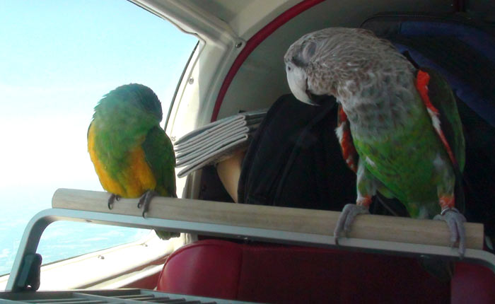 Parrots Fall Asleep Together