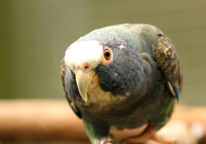 White Crowned Pionus Parrot