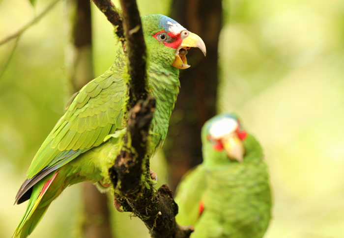 White-Fronted Amazons