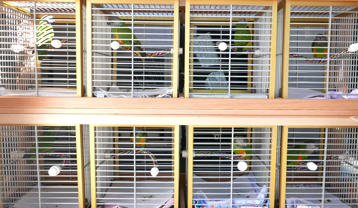 Senegal Parrots on Birdie Bus