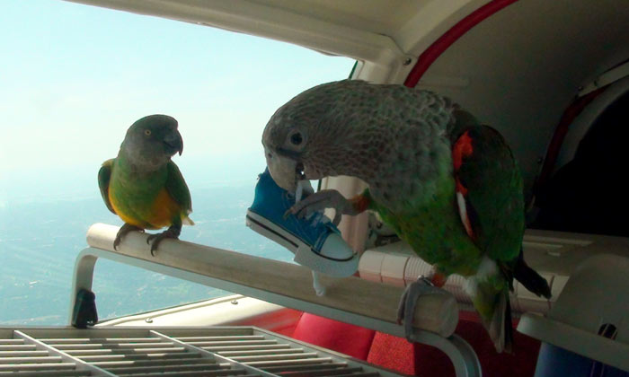 Parrots on Travel Cage in Airplane