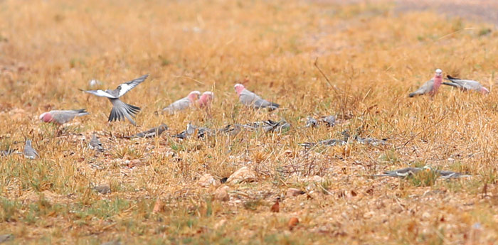 Galahs and Cockatiels Ground Foraging