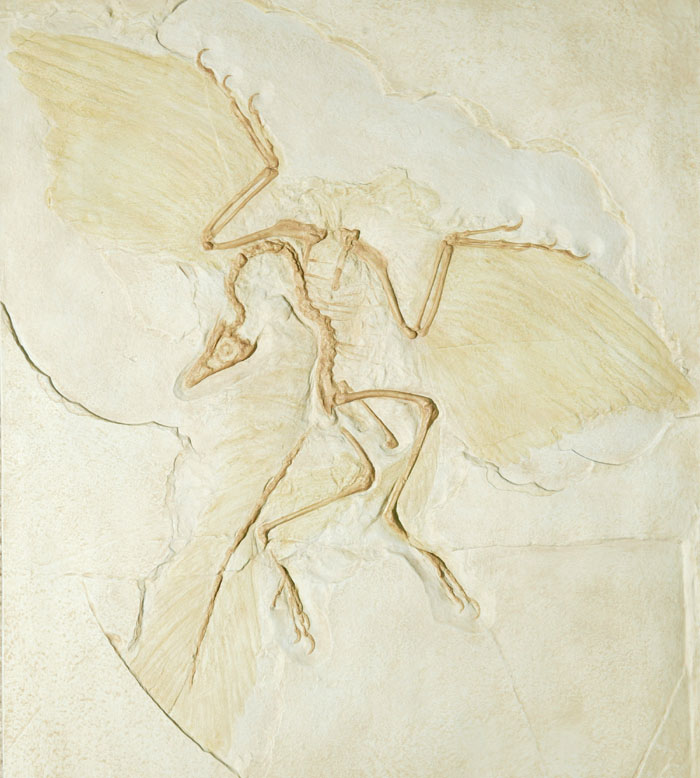 Fossil Cast of Archaeopteryx Lithographica Berlin Specimen