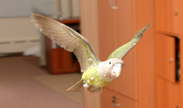 Truman the Cape Parrot Flying