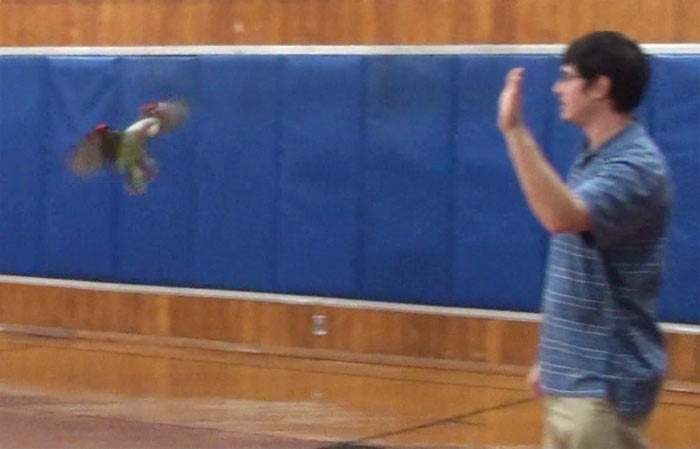 Parrot Flying in Gym