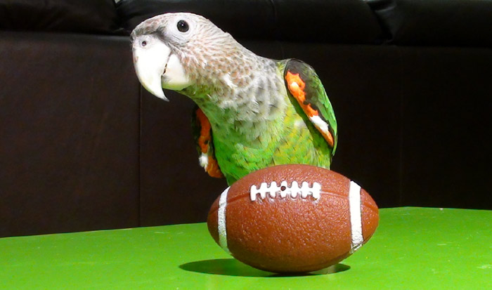Parrot and Football