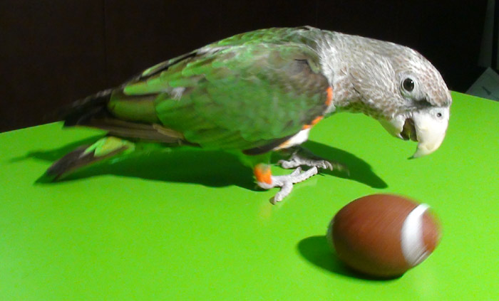 Cape Parrot Playing With Football
