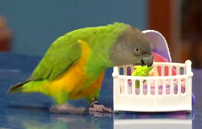 Parrot Puts Baby to Bed