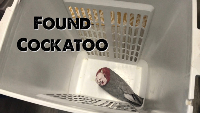 Found Cockatoo in Laundry Basket