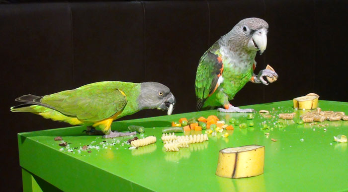 Parrots feast on thanksgiving