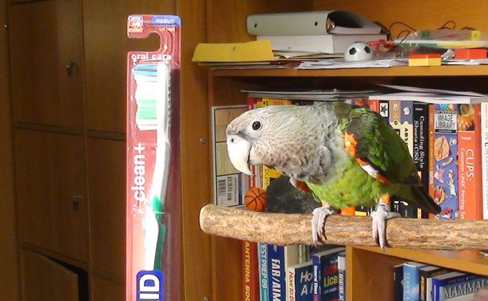 Parrot and Toothbrush