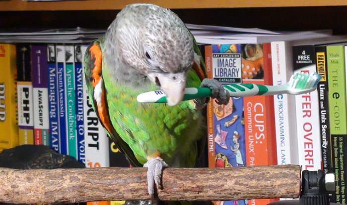 Cape Parrot Chewing Toothbrush toy