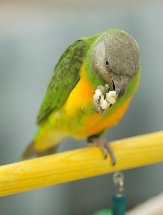Parrot eating popcorn