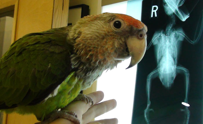 Cape Parrot Injury